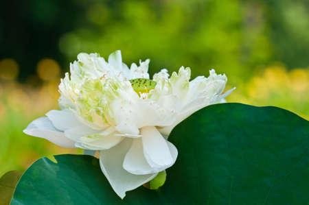 white lotus on nature background Stock Photo
