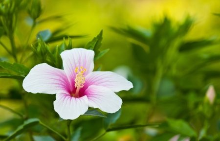 pink  Hibiscus flowers close up