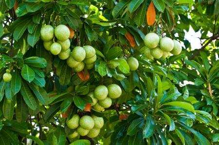 Cerbera oddloam fruit on tree