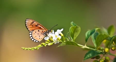 tawny: tawny coster butterfly close up Stock Photo