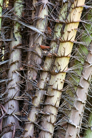 thorn tip: Huge spikes cover tropical trees texture