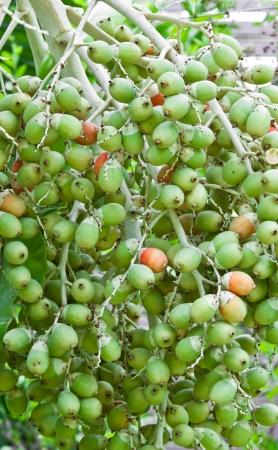 betelnut: Betel Nut  Palm On Tree Stock Photo
