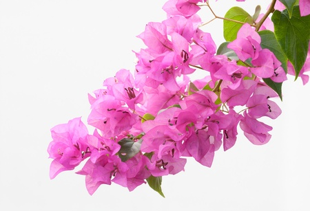 plink bougainvillea on whhite background photo