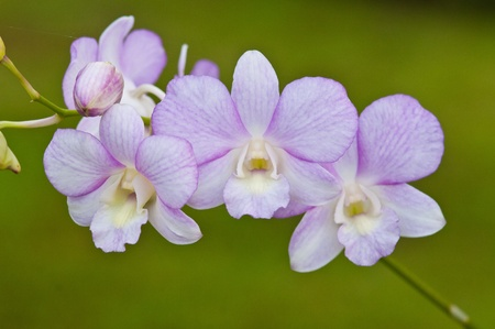 purple orchid: purple orchid on green background