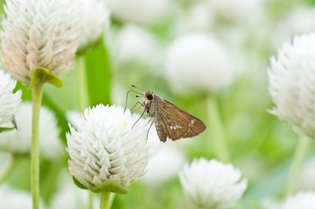 brown small butterfly on flower,thailand Stock Photo