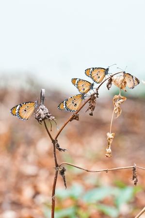 pianura tigre farfalla da vicino Archivio Fotografico