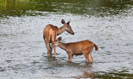 Mother and baby deer in the river.