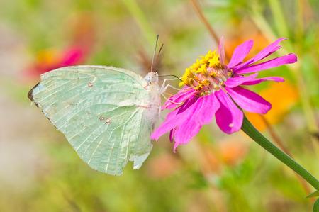 Lesioni farfalla di emigrante di limone sul fiore rosa