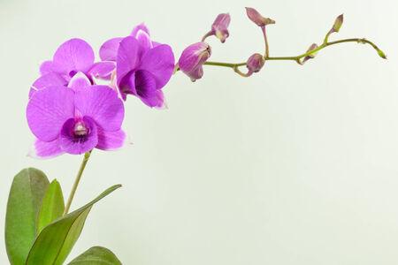 purple orchid: purple orchid close up