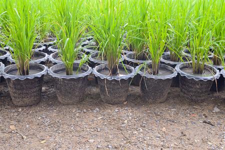Giovane coltivazione in vaso di plastica