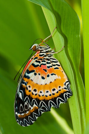 chrysope: l�opard chrysopes papillon pr�s