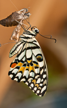 metamorphose: lime Butterfly out of the cocoon Stock Photo