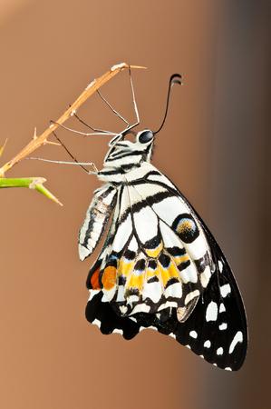 calce farfalla sullo sfondo della natura Archivio Fotografico
