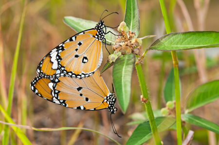 entomological: plain tiger butterfly mating close up