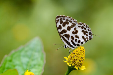 pierrot: Common Pierrot butterfly on yellow flower