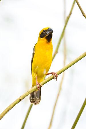Asian Golden Weaver on breeding,Male,thailand photo