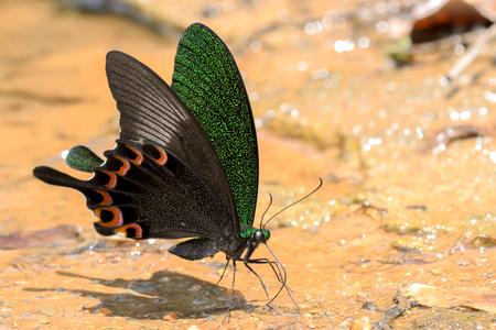 paris peacock butterfly sucking food on wet floor