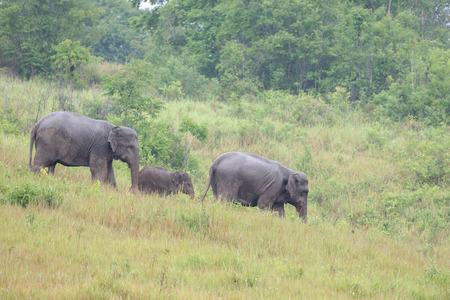 Elephant feeding in  meadow , thailand