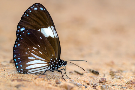 magpie: Magpie Crow  butterfly eat minerals Stock Photo