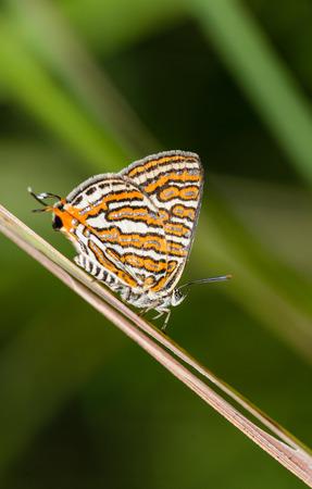 silverline: club silverline butterfly on grass leaf