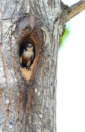cavity: Black-thighed Falconet in cavity on tree