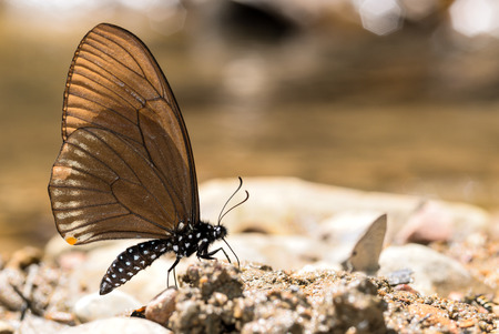 Common Mime butterfly on nature background
