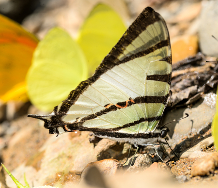 Fourbar Swordtail butterfly on nature background