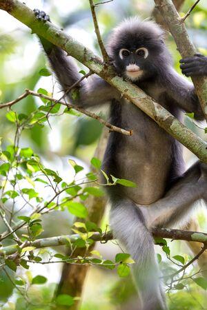 langurs on tree close up,thailand Stock Photo