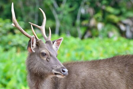 deer on nature background , thailand Stock Photo