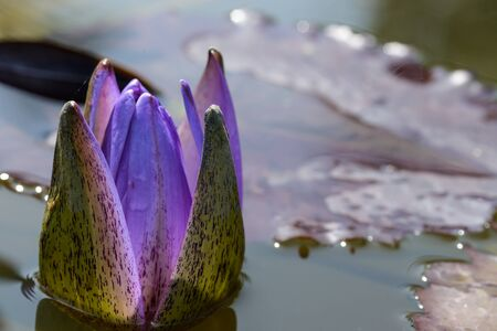 purple lotus: purple lotus on nature background