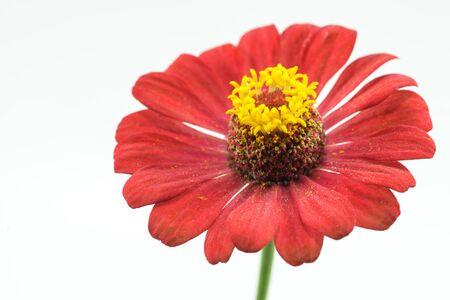 cav: Zinnia Violacea Cav Flower close up Stock Photo