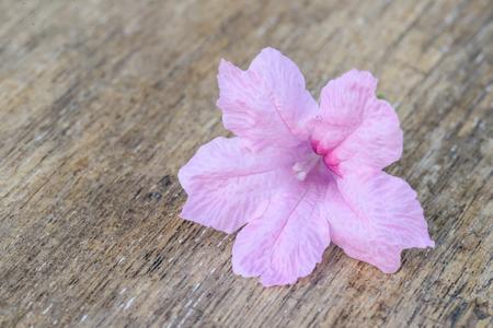 petunia wild: pink  Hygrophila erecta flower on old wood background