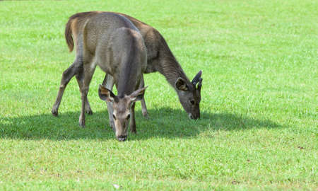 deer eating grass on nature background