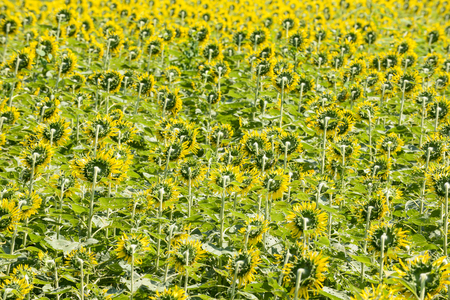 Beautiful sunflowers on the field Stock Photo