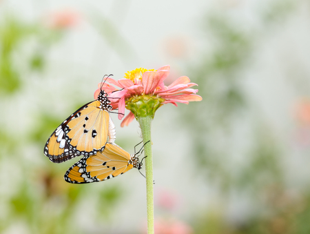 butterfly garden: monarch butterfly  pairing on flower