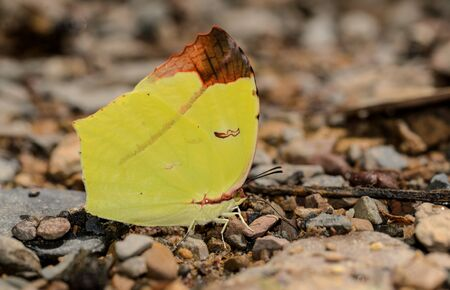 Tailed Sulphur butterfly on nature background
