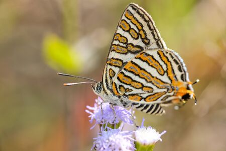 silverline: club silverline butterfly eating nectar Stock Photo