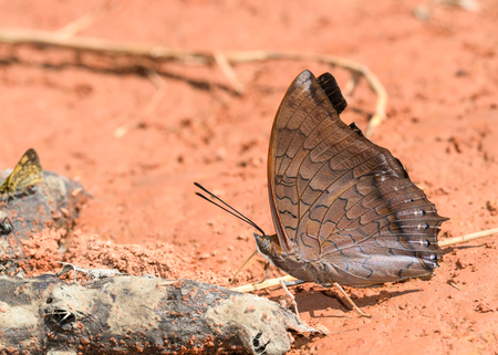 rajah: Tawny Rajah butterfly   consume minerals from dung