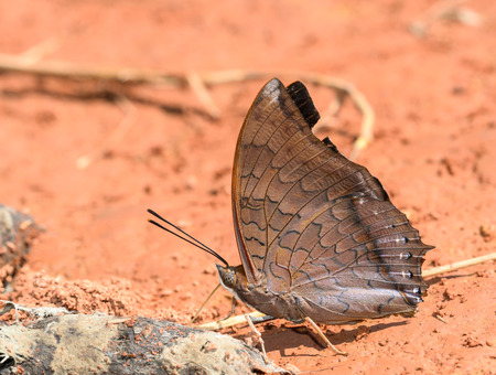 consume: Tawny Rajah butterfly   consume minerals from dung