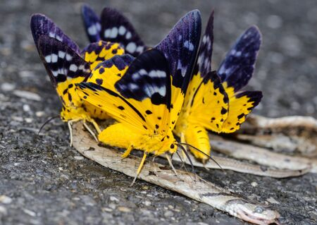 yellow butterfly: Yellow Butterfly minerals from eating carrion Stock Photo