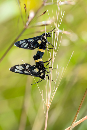 in copula: black  insect mating on dry grass