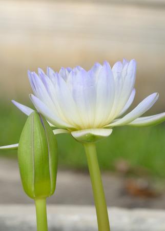purple lotus on nature background