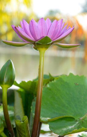 pink lotus: pink lotus on nature background Stock Photo