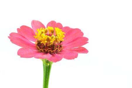 cav: pink Zinnia Violacea Cav Flower close up