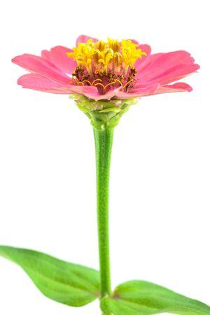 pink Zinnia Violacea Cav Flower close up