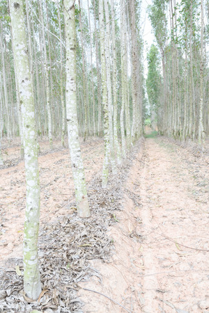 Plantation of Eucalyptus for paper industry Stock Photo