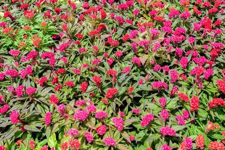 colorful Plumed cockscomb flower in garden