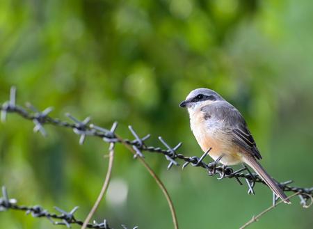 Gray-backed Shrike bird winter visitor thailand Stock Photo