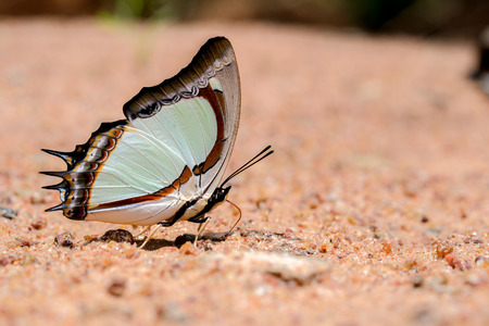 Butterfly  eating salty in sand (Indian Yellow Nawab)