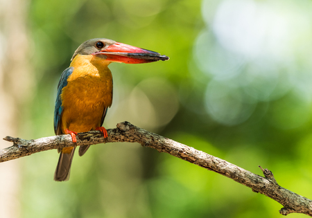 Stork-billed Kingfisher perched on dry branches and eating fish Reklamní fotografie